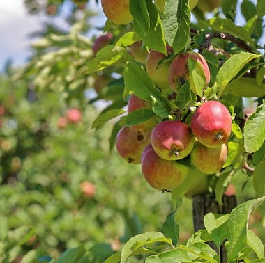 6 Orchards Near LA That Are Great For Apple Picking (And More)